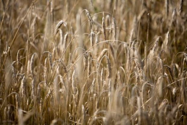 Zbiory zbóż będą znacząco niższe niż w 2011 r.
