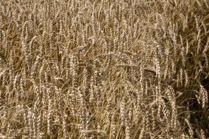 Ceny zbóż na krajowym rynku przestały rosnąć