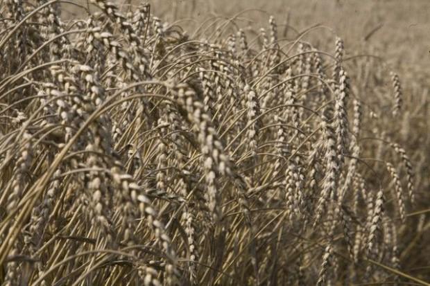 Zbiory zbóż w 2012 r. niższe niż w latach poprzednich