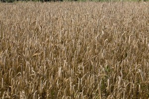 USDA oczekuje w nadchodzącym sezonie spadku globalnych zbiorów pszenicy i wyższej produkcji kukurydzy