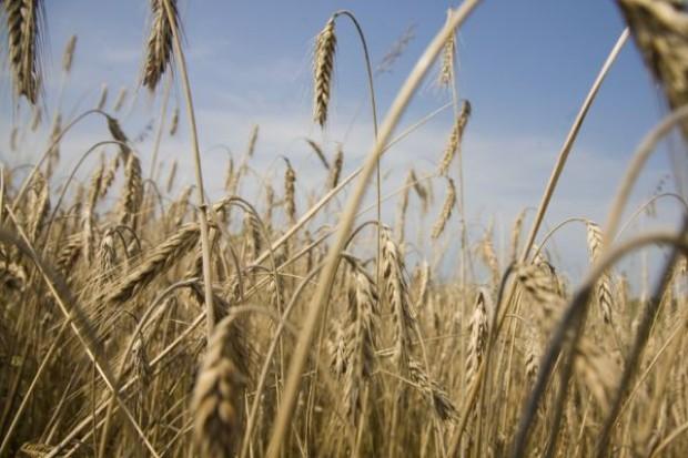 GUS: Powierzchnia zasiewów zbóż wzrosła o 2,7 proc.