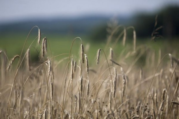 IERiGŻ szacuje, że tegoroczne zbiory zbóż będą niższe o 7 proc.