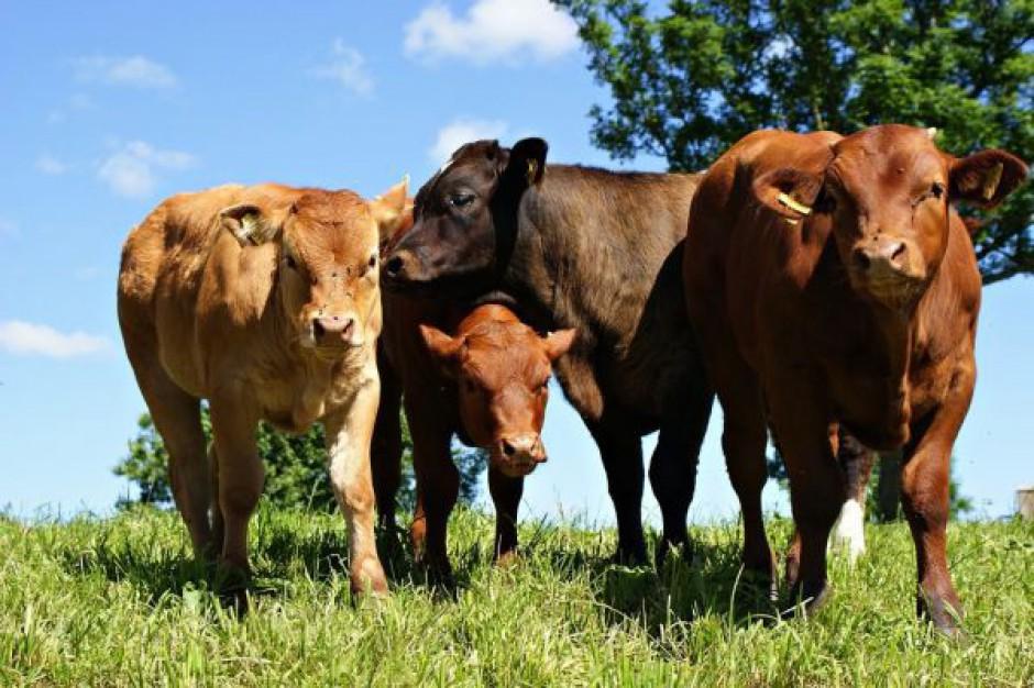 Wołowina wciąż traci rynek