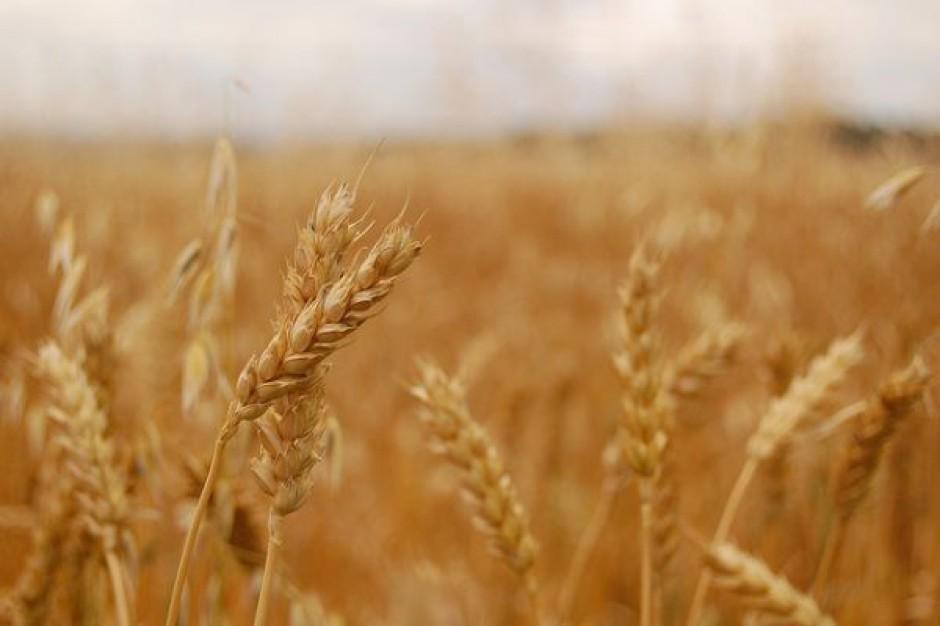 Obawy o zbiory w USA i Rosji windują ceny pszenicy i kukurydzy