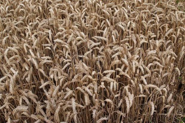 Rosja tnie prognozy zbiorów zbóż