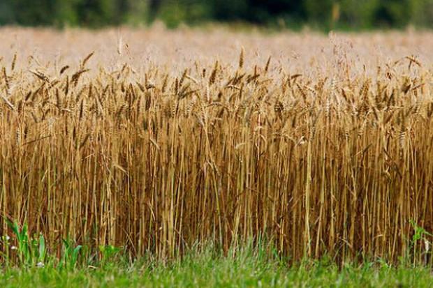 Obawy o skutki suszy podbijają ceny zbóż