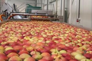 Rośnie eksport polskich jabłek do Rosji