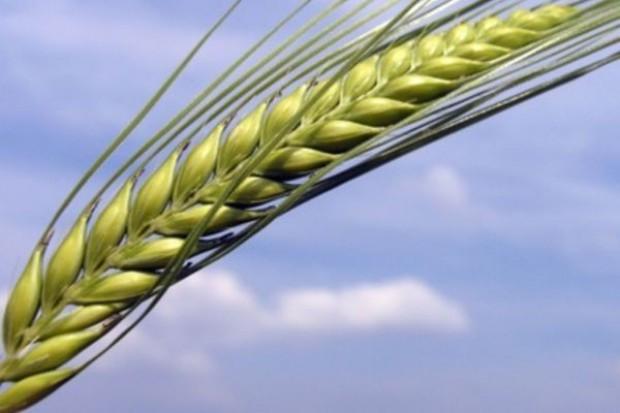 Ceny zbóż na światowych giełdach ostro w górę