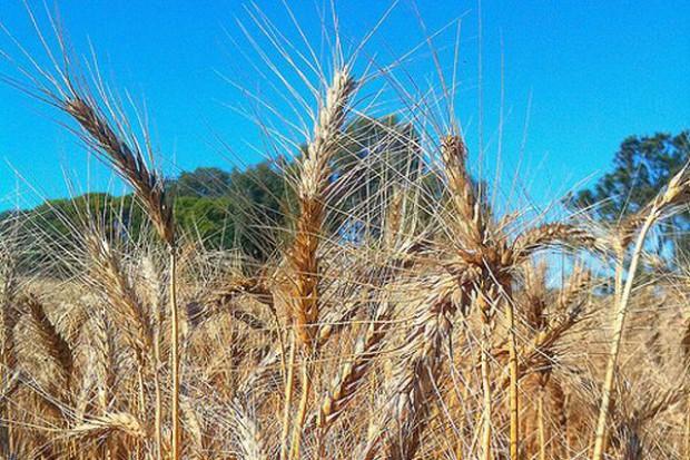 Bilans zbóż w Unii pozostaje napięty, co sprzyja wysokim cenom