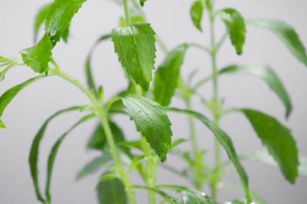 Cargill inwestuje w opracowywanie nowych receptur wykorzystania stewii