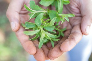 Cargill: Stewia szansą i poważnym wyzwaniem dla producentów żywności