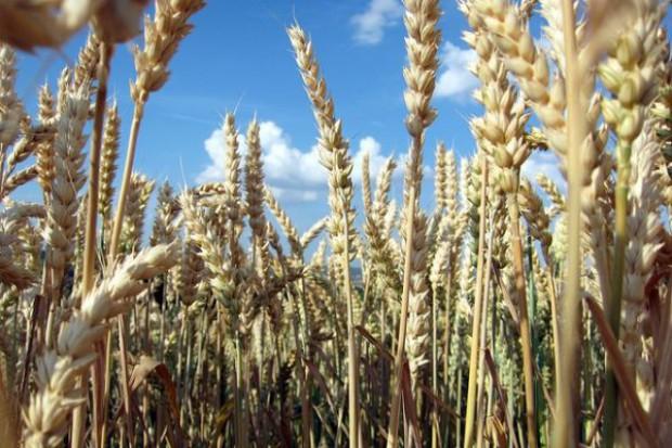 Ceny zbóż na giełdach spadają dzięki informacjom o poprawie pogody