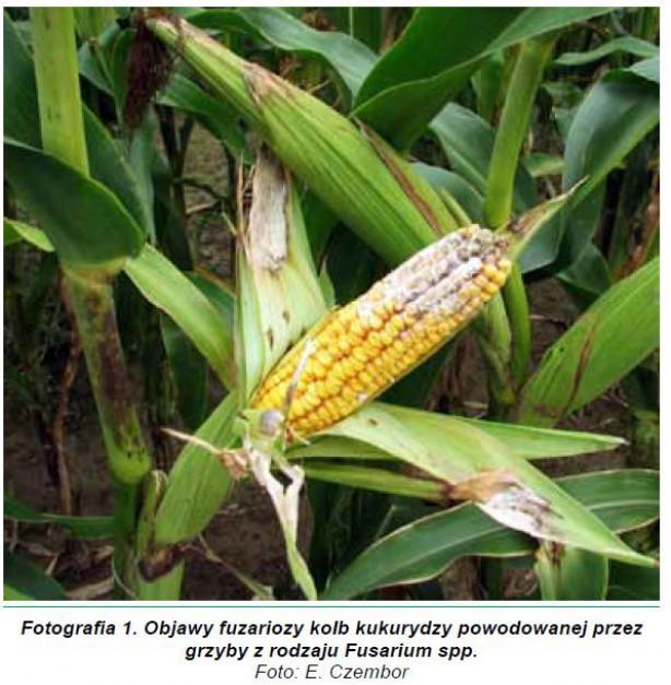 Zdjęcie numer 1 - galeria: Czynniki kształtujące poziom skażenia ziarna kukurydzy toksynami fuzaryjnymi