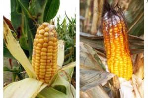 Zdjęcie numer 2 - galeria: Czynniki kształtujące poziom skażenia ziarna kukurydzy toksynami fuzaryjnymi