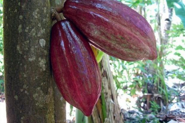 Spadają ceny ziaren kakaowca