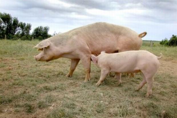 FAO ostrzega: Pomór świń na Ukrainie zagraża innym krajom