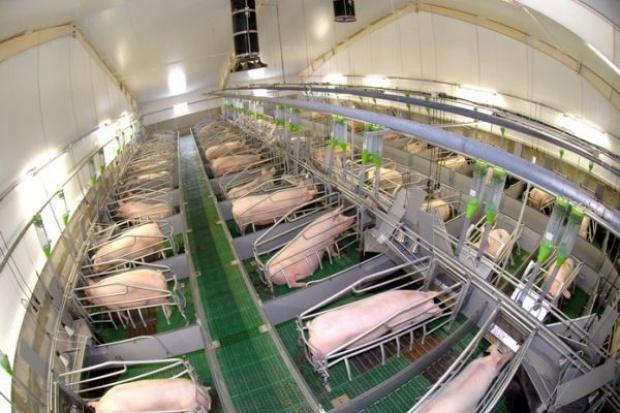 Wzrosty cen trzody chlewnej w Polsce mniejsze niż w UE
