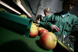 Niższe ceny jabłek przemysłowych w kraju