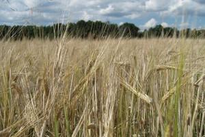 Zbiory zbóż na Dolnym Śląsku niższe od ubiegłorocznych o ok. 5 proc.