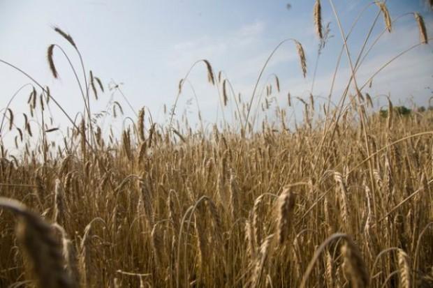 Zbiory tegorocznych zbóż podstawowych będą mniejsze