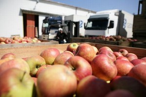 Eksport jabłek z Polski na Ukrainę znacznie wzrósł w sezonie 2011 - 2012