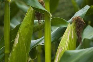 Skokowy wzrost zbiorów kukurydzy poprawił bilans zbożowy