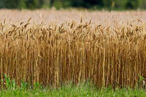 Ceny zbóż nieznacznie spadły, jednak sytuacja nadal nie jest optymistyczna