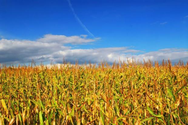 Zbiory kukurydzy w USA niższe o 13 proc. Zapasy rekordowo niskie