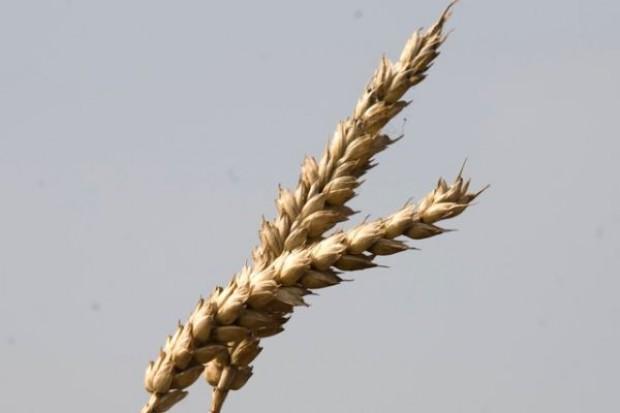 Zbiory zbóż podstawowych większe niż w zeszłym roku