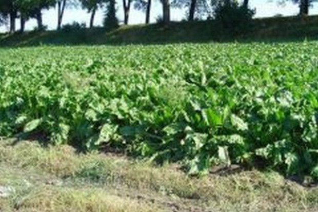 Plantatorzy zebrali już 70 proc. buraków cukrowych w Zachodniopomorskiem