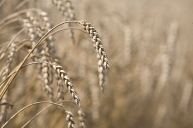 Na MATIF rosną ceny pszenicy