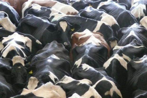 Trzy krowy ze stada zakażonego wąglikiem trafiły do rzeźni w Małopolsce