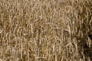 KE: ceny zbóż powinny nieco spaść w perspektywie 2022 r