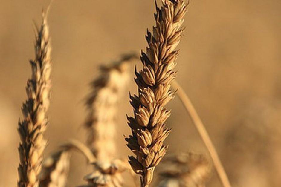 Susza w USA winduje ceny zbóż