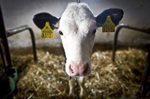 Cena skupu mleka o 4 proc. niższa niż przed rokiem