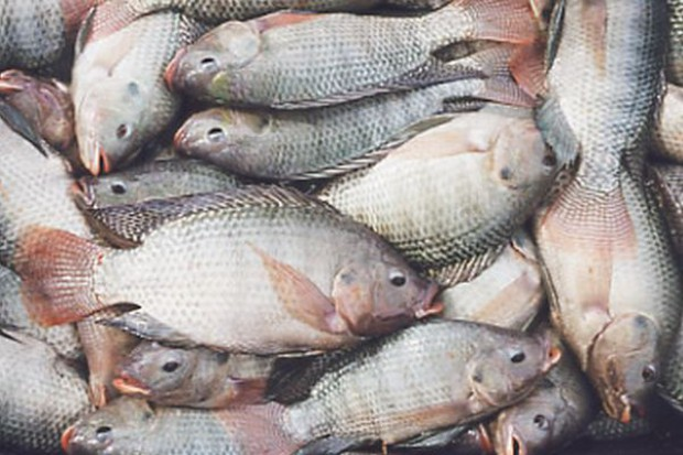 Tilapia jest jedną z pięciu najczęściej spożywanych ryb na świecie