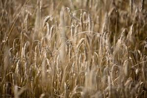 Ceny zbóż na giełdach zwyżkują