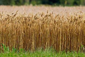 USDA podwyższyła prognozy światowej produkcji zbóż
