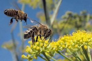 Nie przeszedł zakaz stosowania pestycydów groźnych dla pszczół