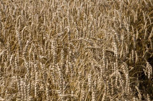 Prof. Rozbicki: na razie nie ma obaw o stan upraw rolnych