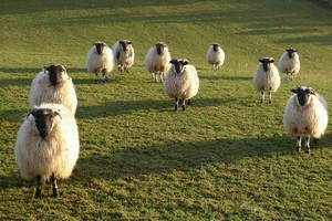 Wzrost pogłowia owiec w Walii