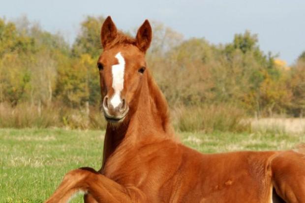 Skandal z koniną powraca. Holendrzy wskazują na Polskę