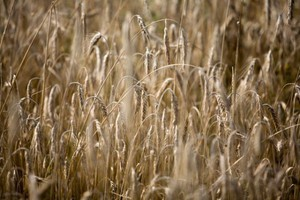 USDA prognozuje rekordowe zbiory zbóż
