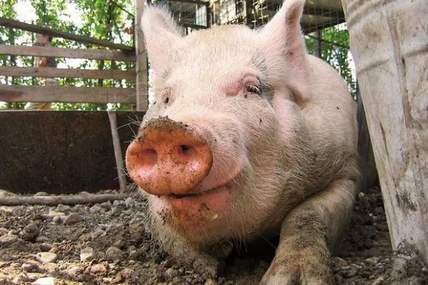 Francuscy producenci wieprzowiny blokują drogi