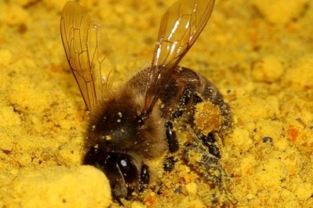 KE nakazuje ograniczenie stosowanie pestycydów aby chronić pszczoły