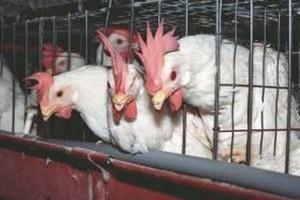 Ptasia grypa atakuje w Hiszpanii