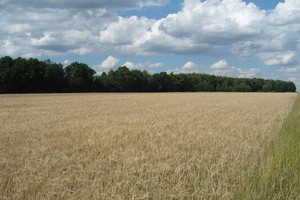 Rośnie światowa produkcja zbóż
