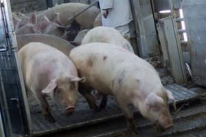 FAO: w tym roku światowa produkcja wieprzowiny wzrośnie o 1,5 proc.