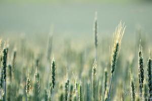 ARR spodziewa się obniżki cen zbóż do końca roku