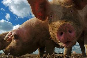 Ukraina wkrótce może być samowystarczalna w produkcji wieprzowiny